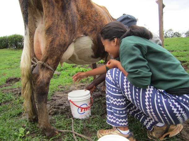 Maya milking one of the cow's